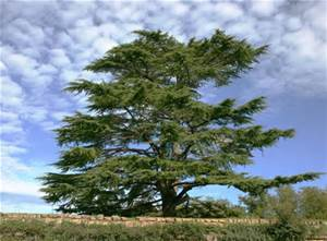 cedartree